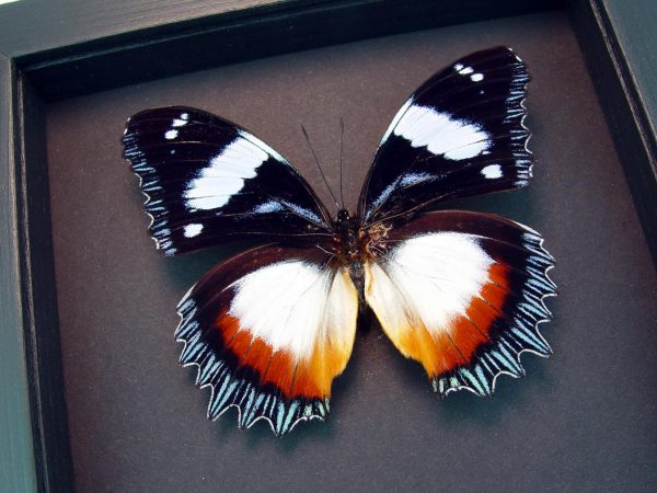 Hypolimnas dexithea Diadem Butterfly Moonlight Display ooak