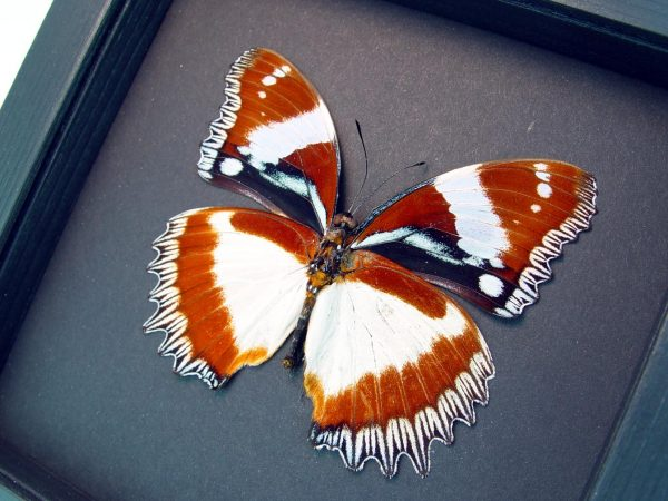 Hypolimnas dexithea verso Diadem Butterfly Moonlight Display ooak