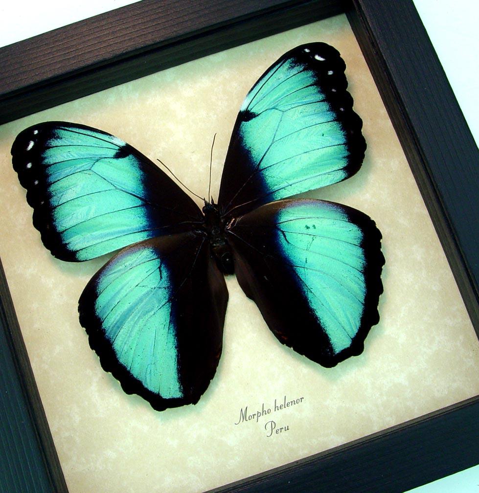 Morpho helenor Banded Blue Butterfly Display ooak