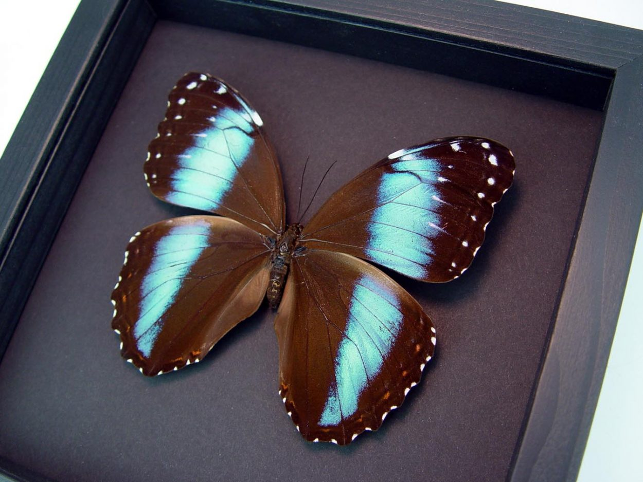 Morpho helenor Female Banded Blue Butterfly Moonlight Display ooak