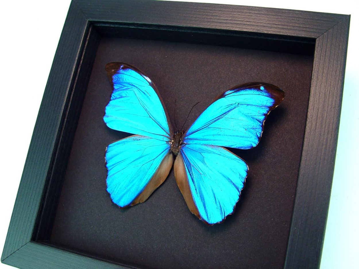 Framed Morpho Butterfly Morpho menelaus Moonlight Display ooak