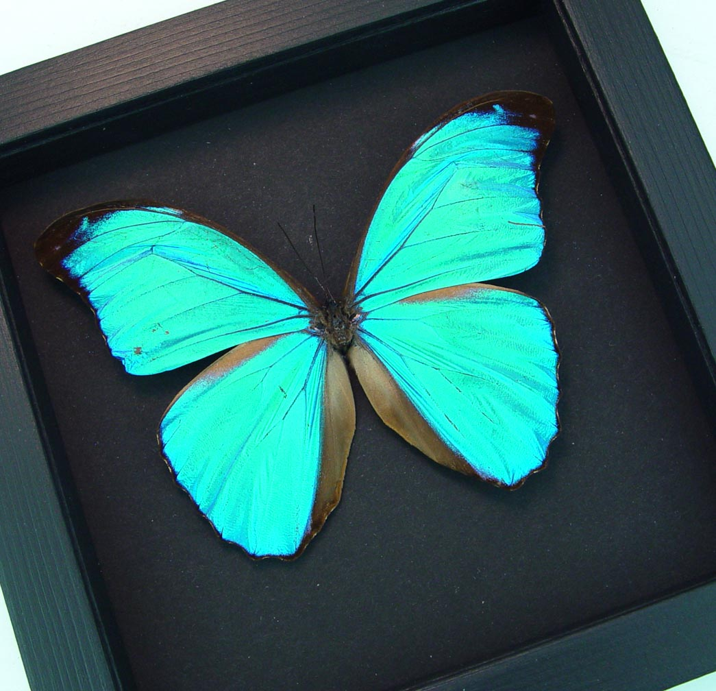 Blue Morpho Butterfly Morpho menelaus Moonlight Display ooak