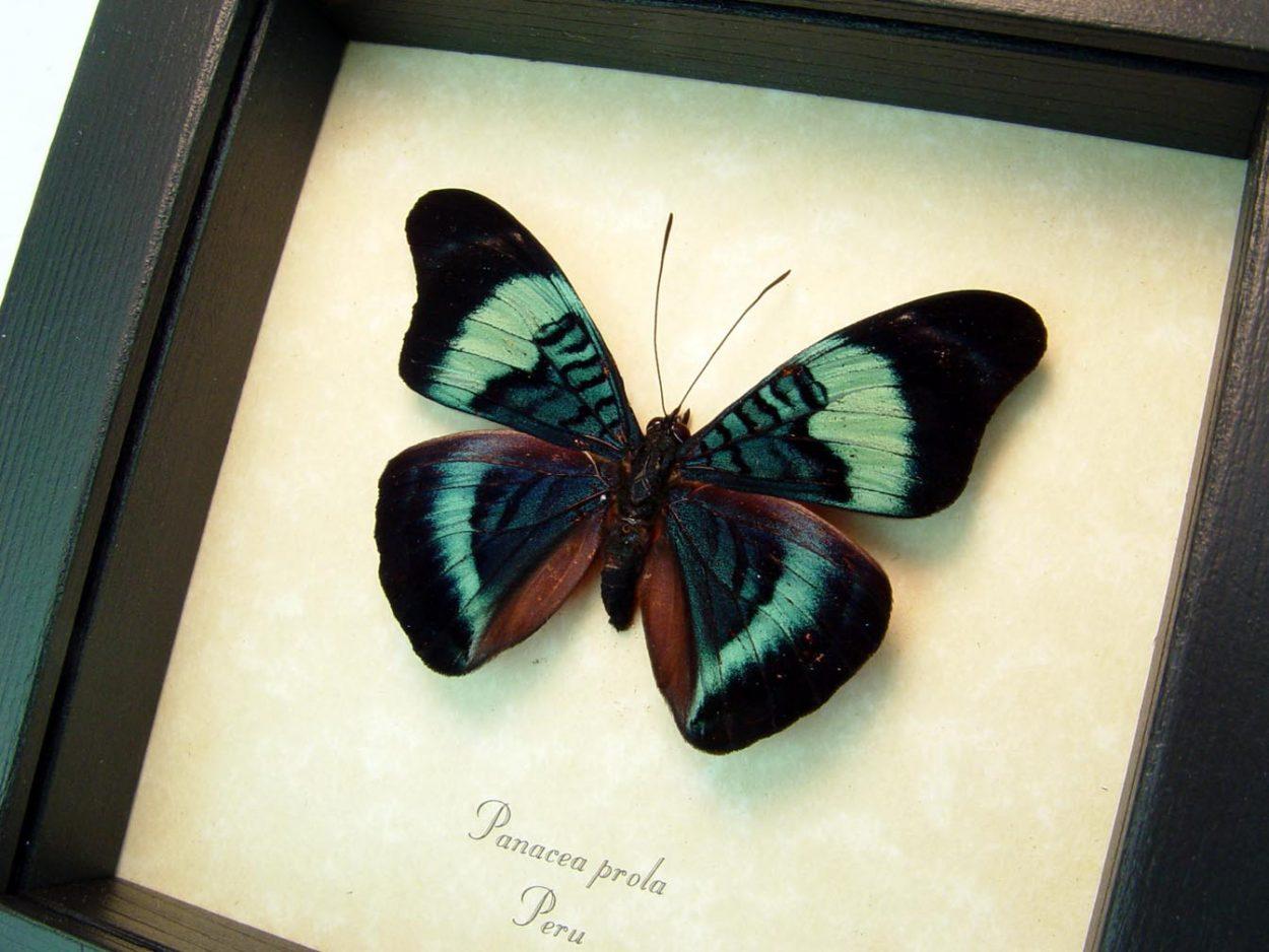 Panacea prola Red Flasher Prola Beauty Butterfly ooak