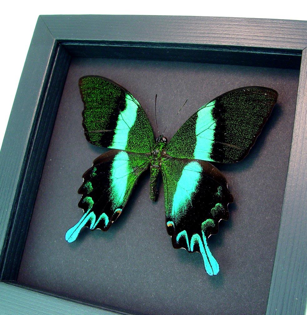 Framed Butterfly Papilio blumei Peacock Swallowtail Moonlight Display ooak