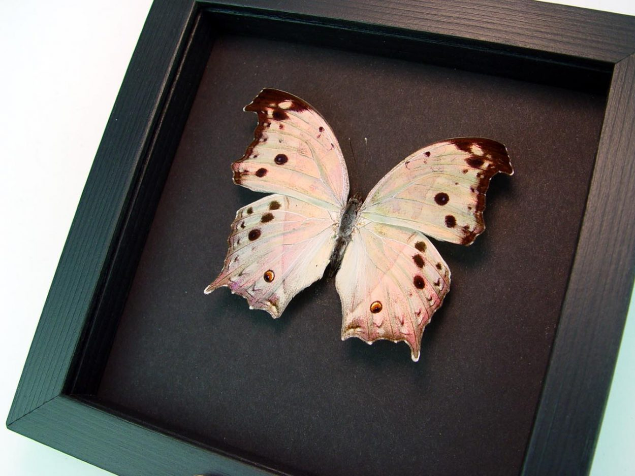 Mother Of Pearl Butterfly Salamis parhassus Moonlight Display ooak