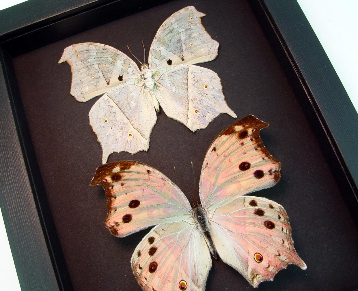 Salamis parhassus Pair Mother Of Pearl Butterflies Moonlight Display ooak