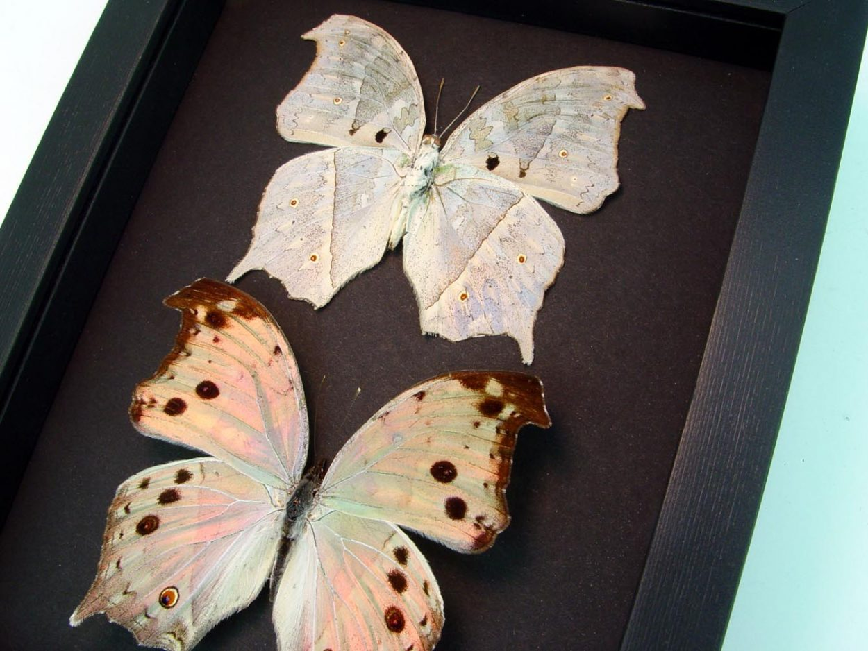 Salamis parhassus Pair Mother Of Pearl Butterflies Moonlight Display