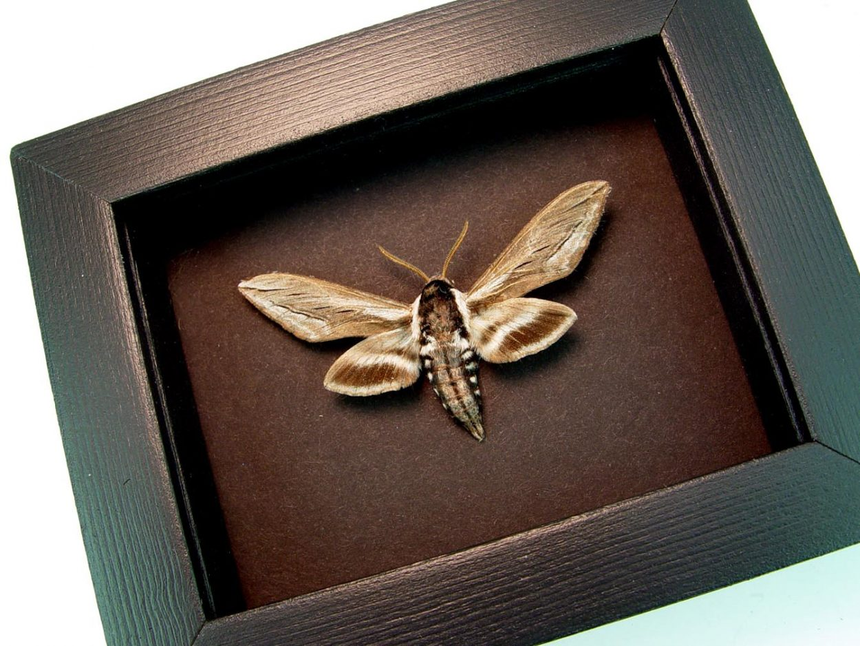 Apple Sphinx Moth Sphinx Gordius Moonlight Display ooak