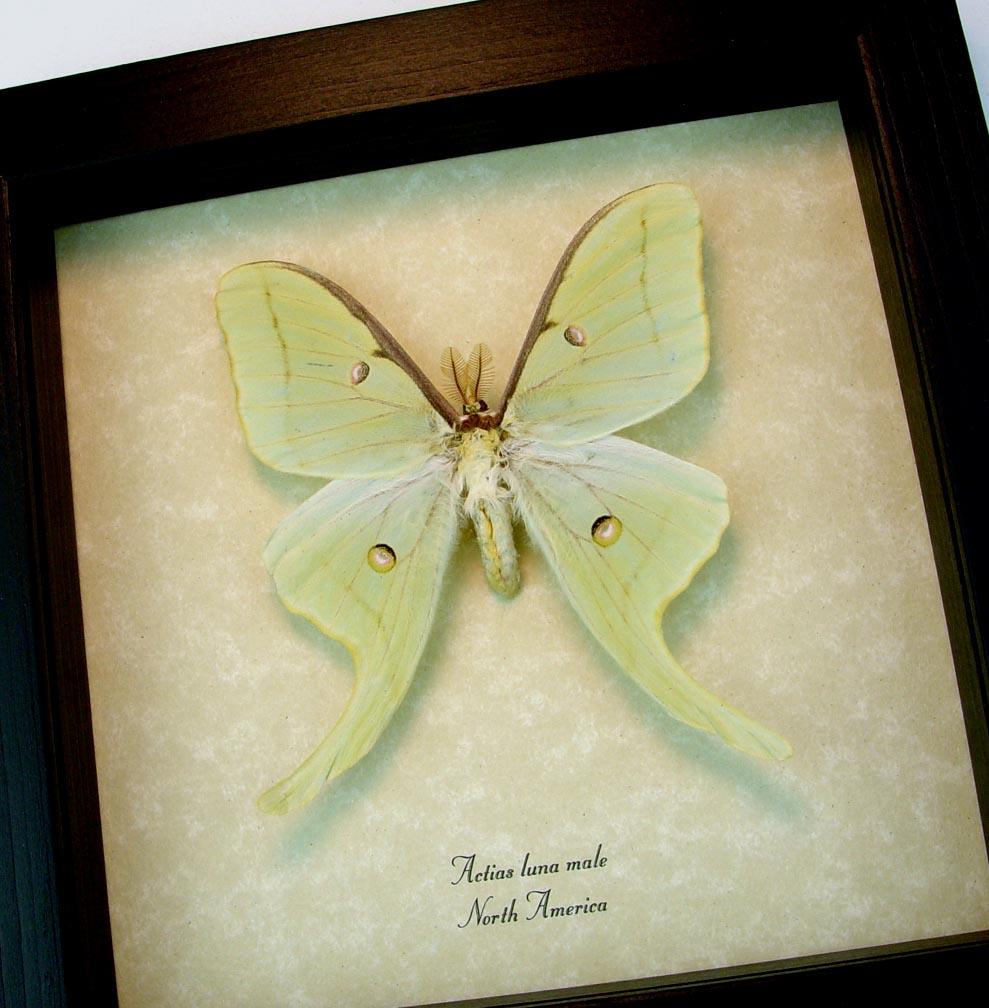 Framed Luna Moth Actias luna Male ooak