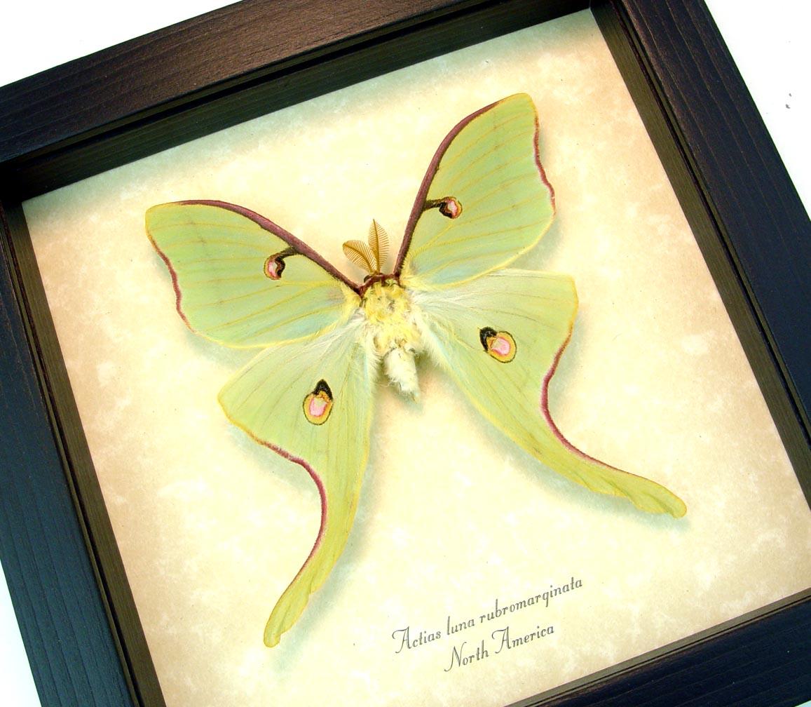 Framed Luna Moth Actias luna rubromarginata Male display ooak