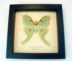 Old World Parchment displays Butterflies and Moths