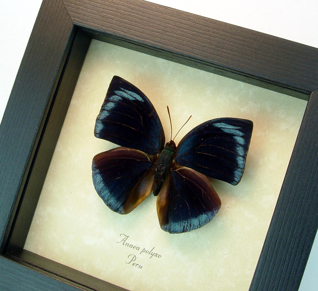 Anaea polyxo Blue Round Wing Butterfly ooak