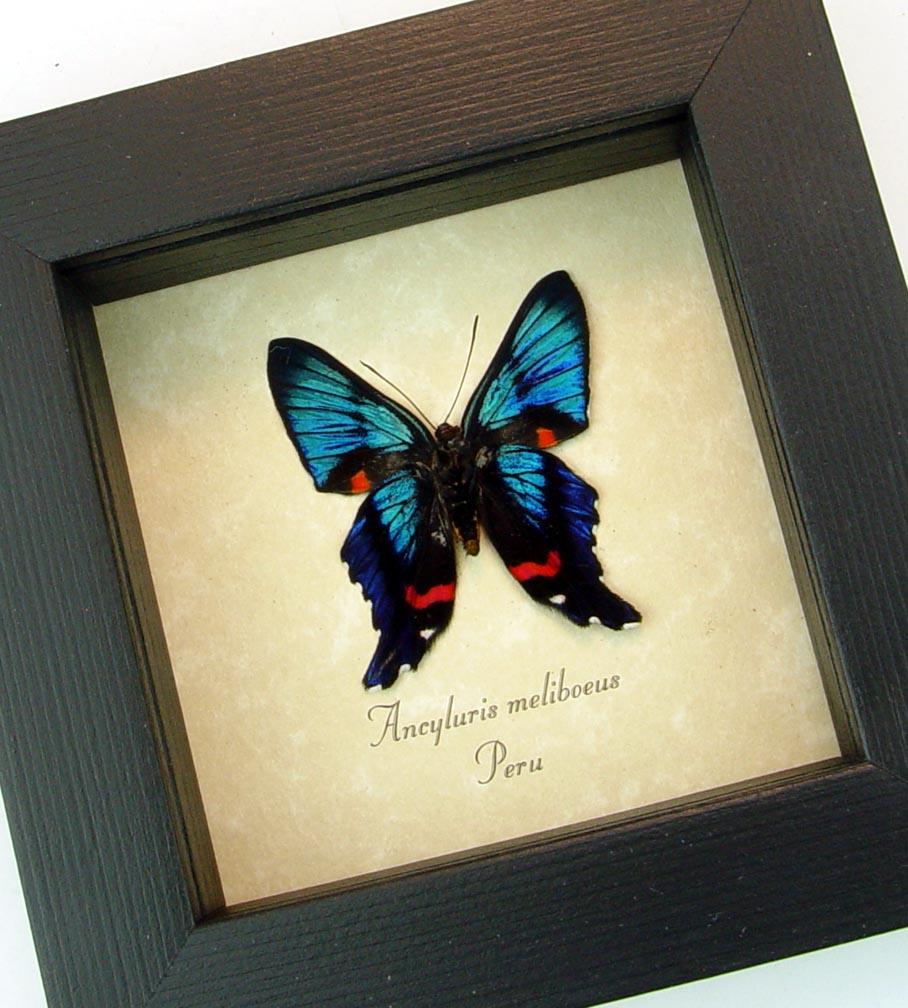 Ancyluris meliboeus Meliboeus Swordtail Butterfly ooak