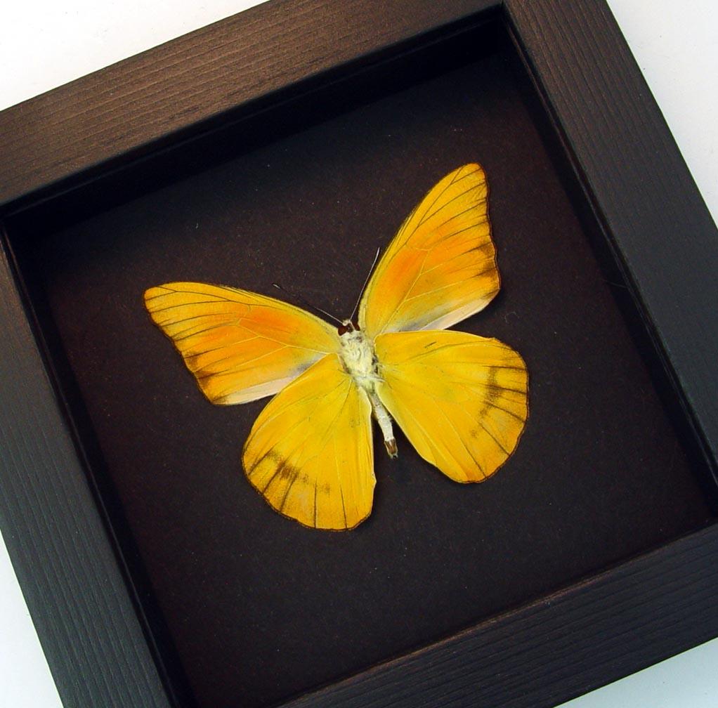 Appias nero verso Orange Albatross Butterfly Moonlight Display ooak