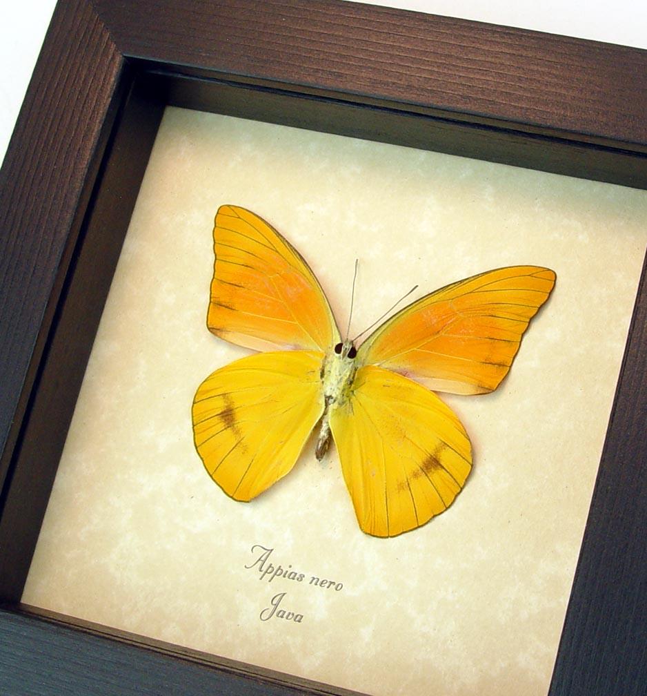 Appias nero verso Orange Albatross Butterfly ooak
