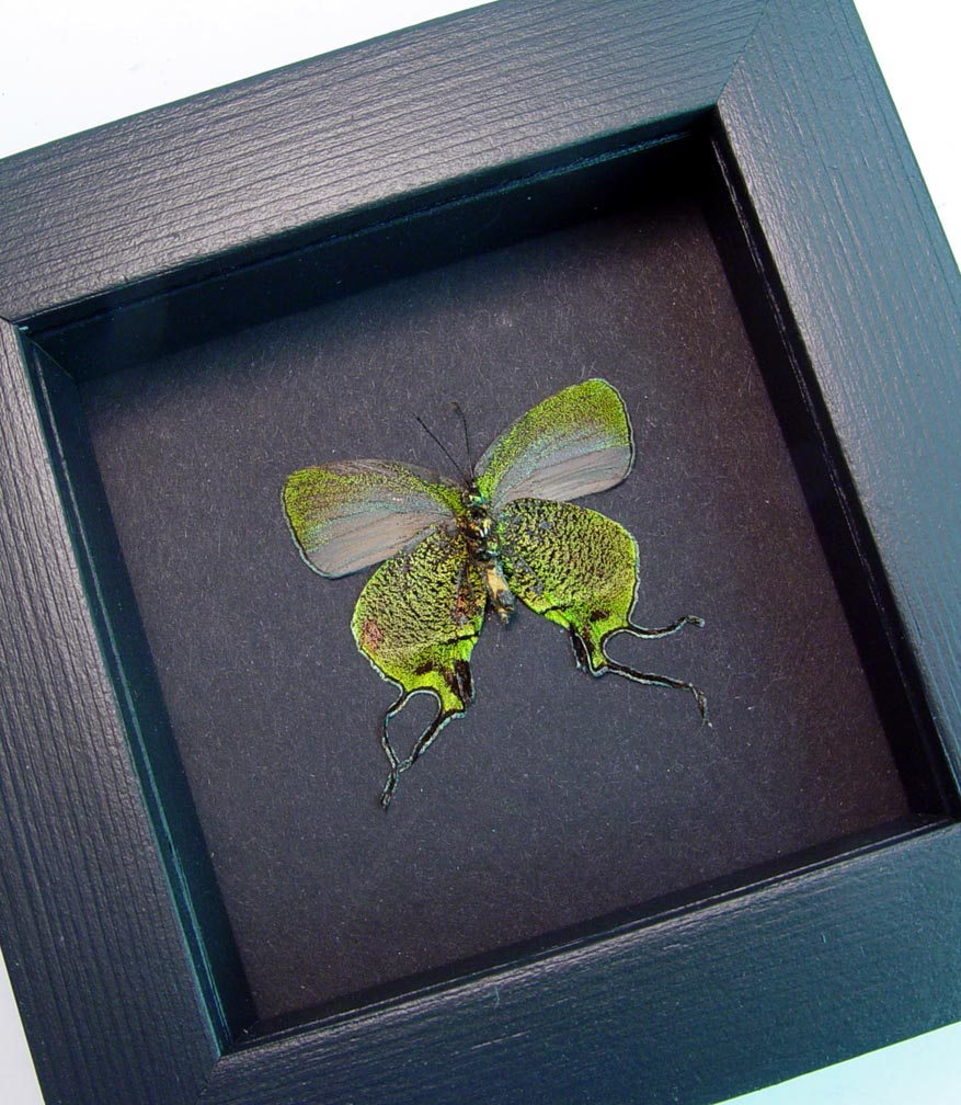 Framed Butterfly Green Swallowtail Arcas imperialis Moonlight Display ooak