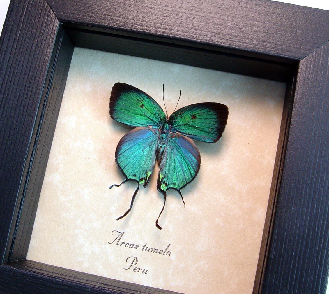 Arcas Tumela Blue Swallowtail Butterfly ooak