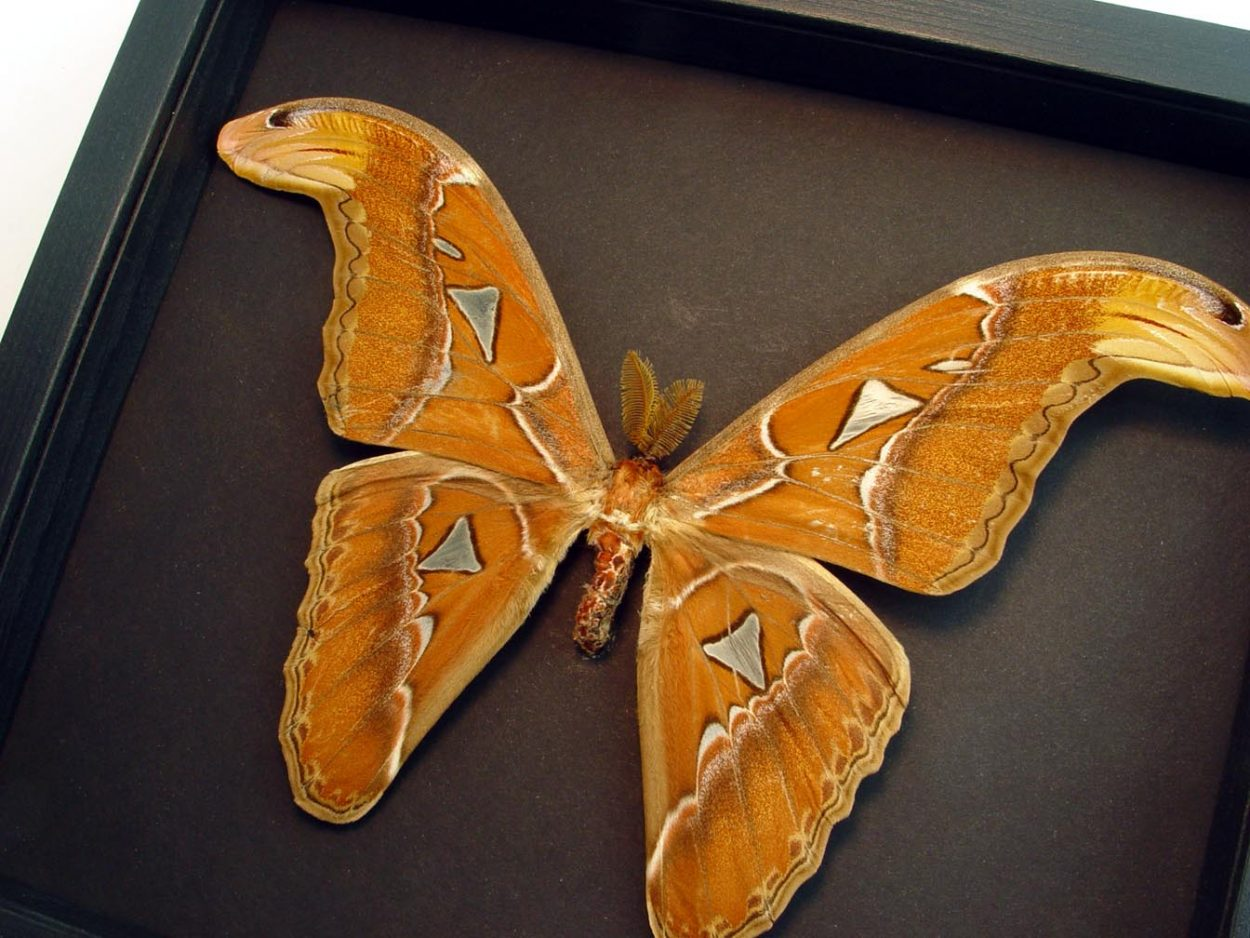 Attacus species Giant Moth Moonlight Display ooak