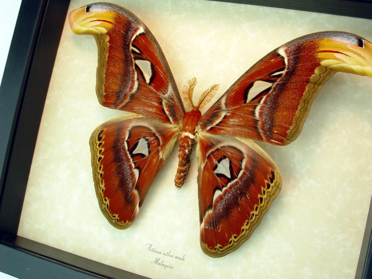 Attacus Atlas Male Moth Snake Head ooak