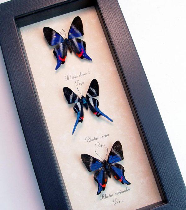 Blue Rhetus Swallowtail Butterfly Collection ooak