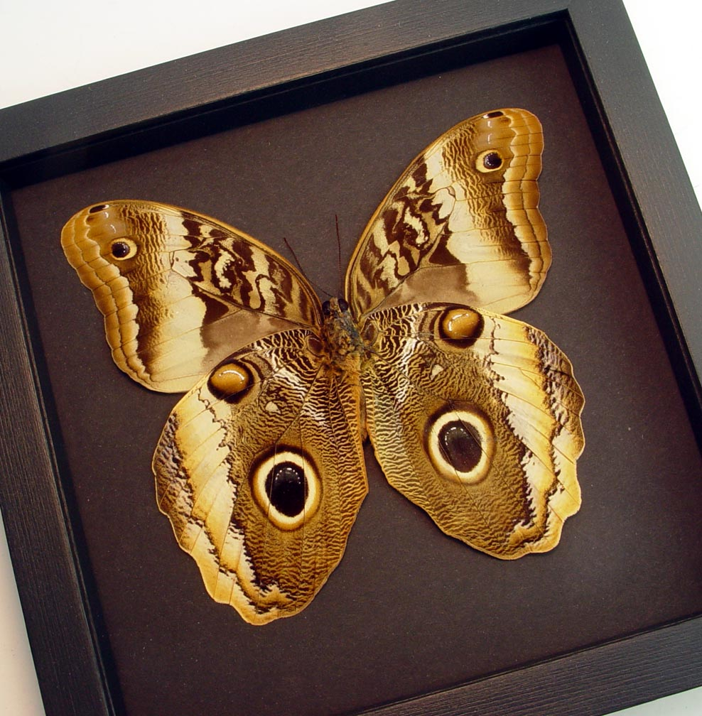 Caligo atreus ajax Verso Giant Framed Butterfly Moonlight Display ooak