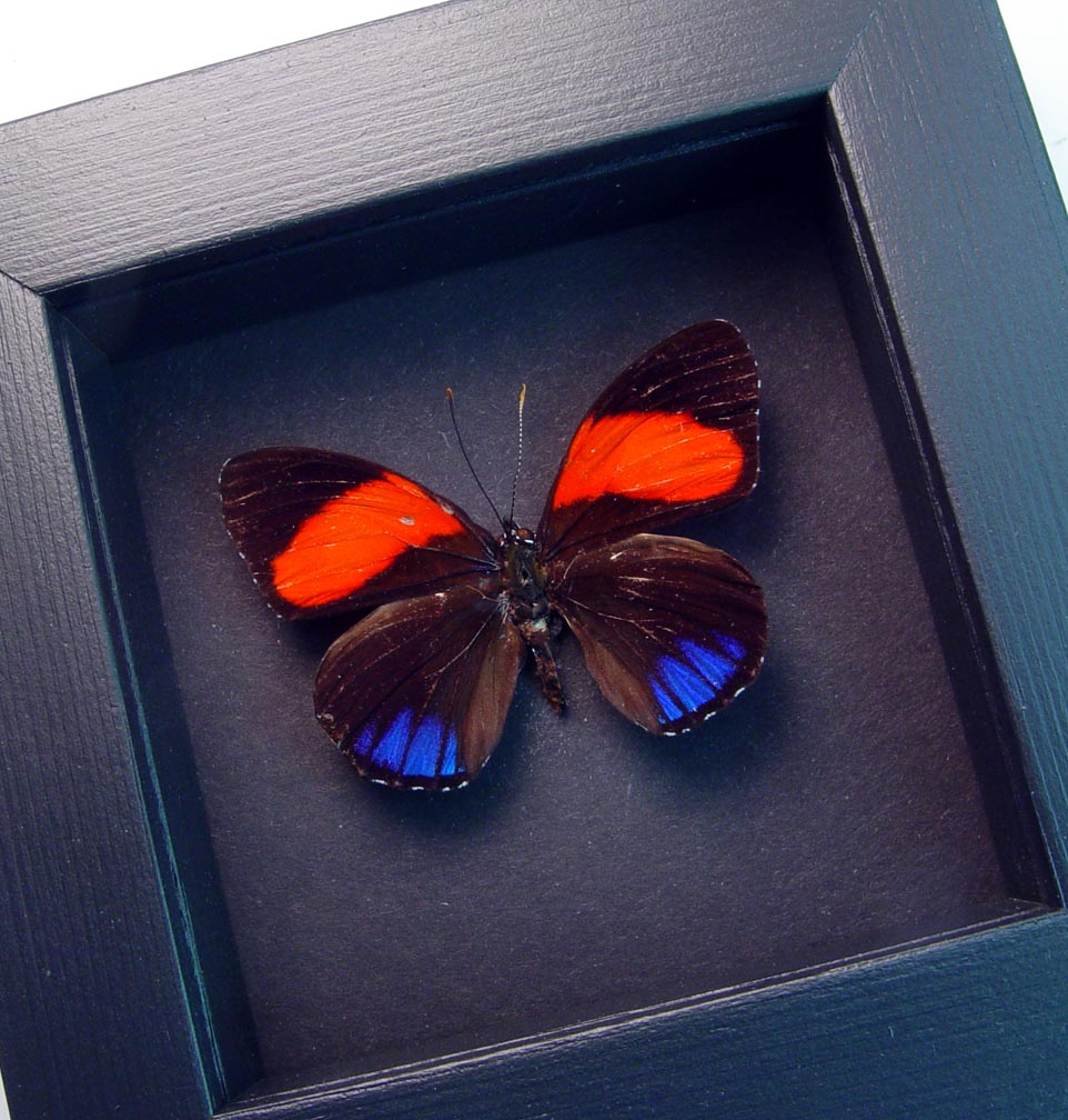 Callicore cajetani Red Blue Butterfly Moonlight Display ooak