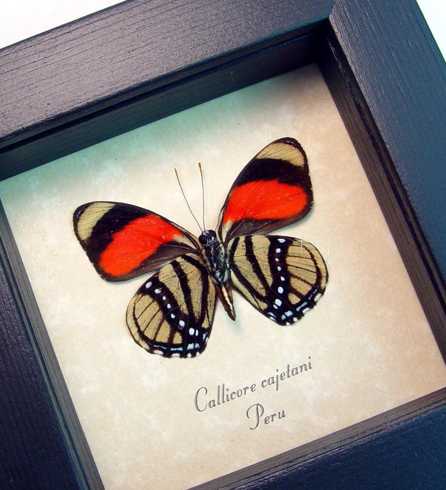 Callicore cajetani Verso Framed Butterfly ooak