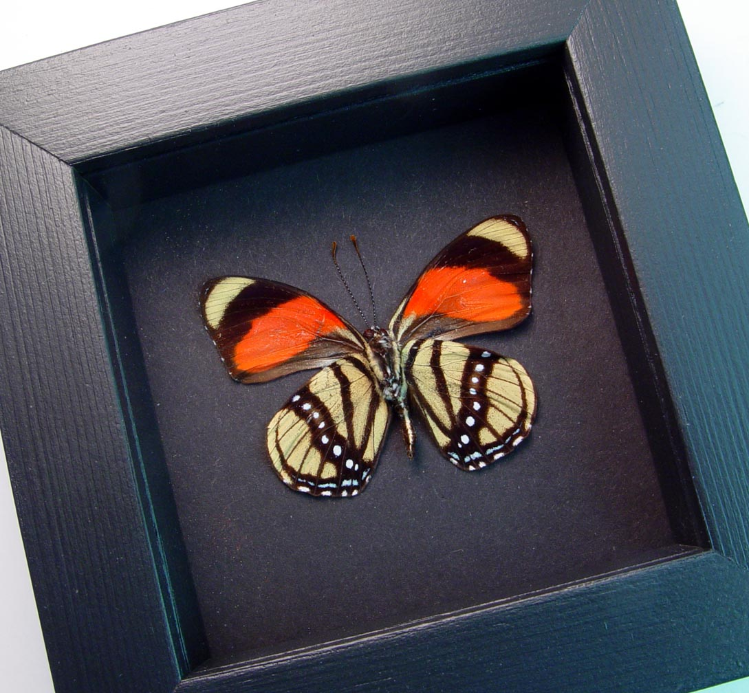 Callicore cajetani Verso Framed Butterfly Moonlight Display ooak