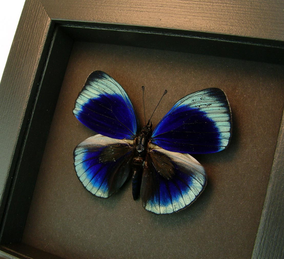 Charles Darwin Butterfly Callithea philotmia Moonlight Display ooak