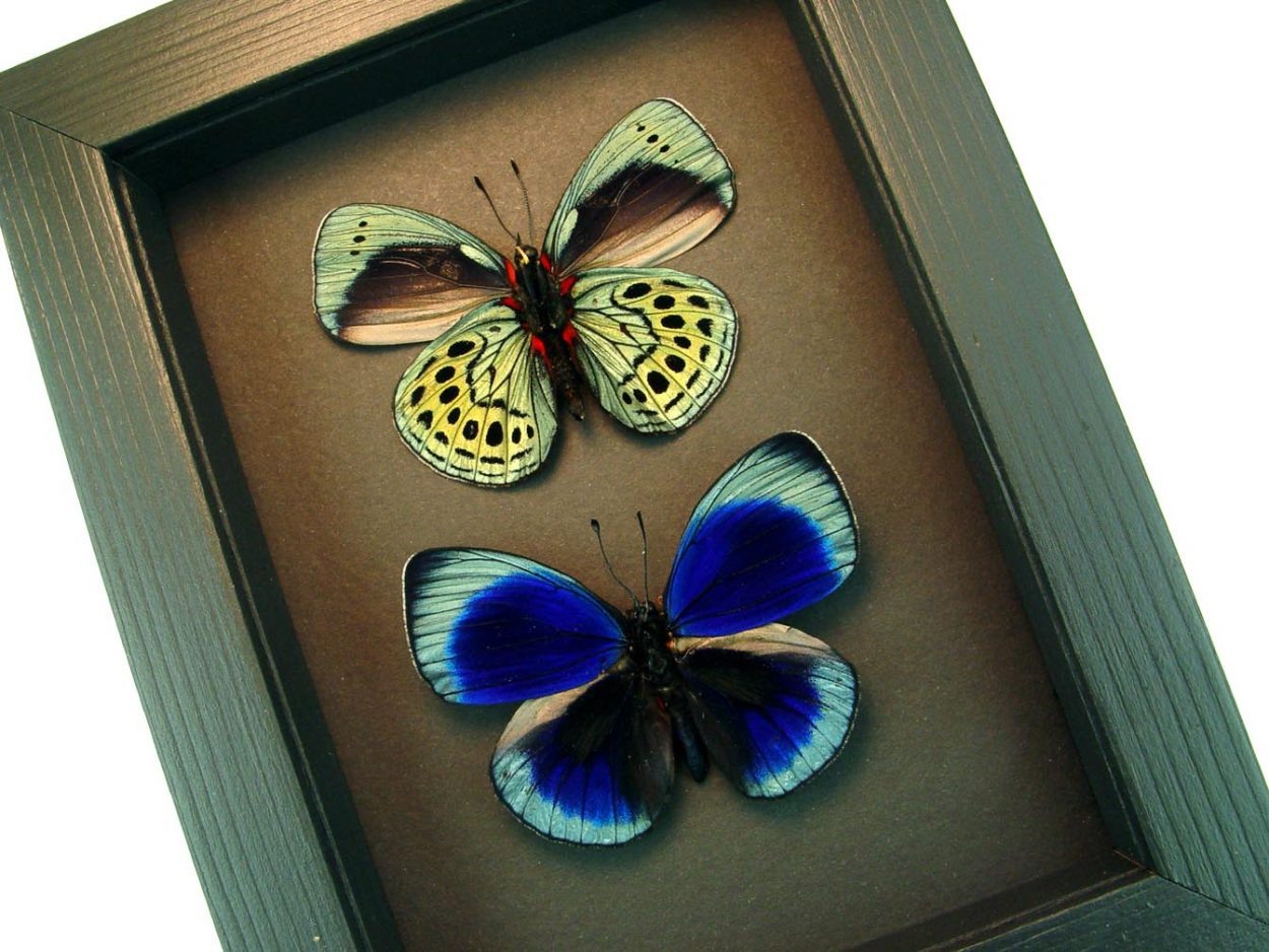Asterope leprieuri Pair Metallic Blue Butterflies Pair Moonlight Display