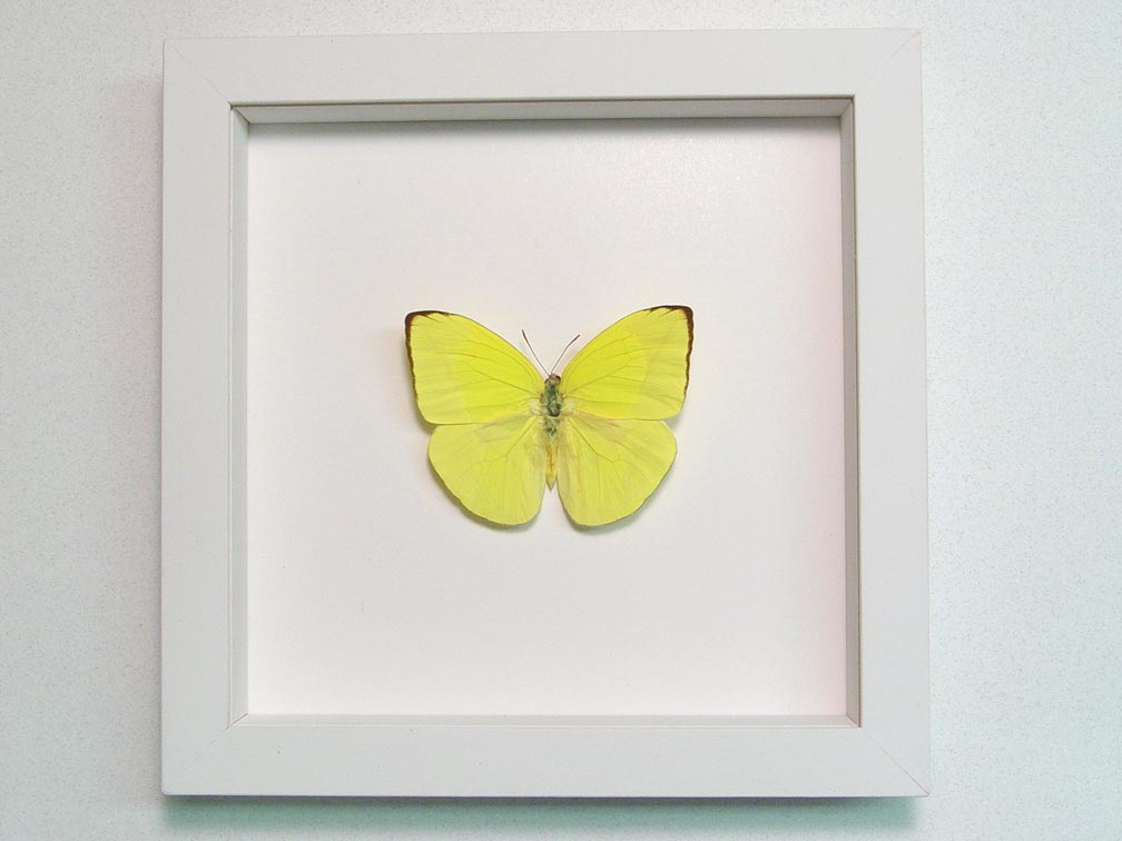 Phoebis trite Neon Sulpher Yellow Butterfly Vibrant White Display