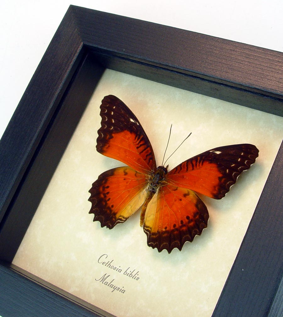 Cethosia biblis Red Lacewing Framed Butterfly ooak