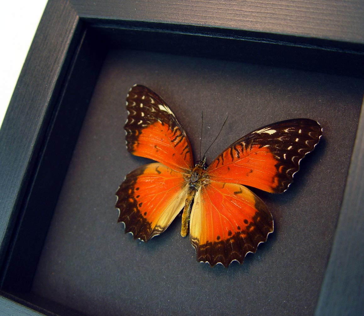 Cethosia biblis Red Lacewing Butterfly Moonlight Display ooak