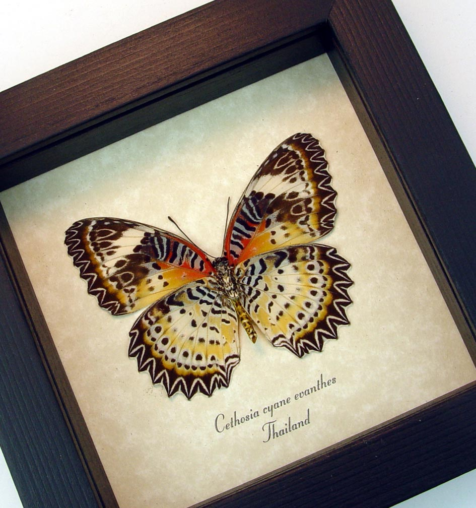 Cethosia Cyane euanthes verso leopard Lacewing Butterfly ooak