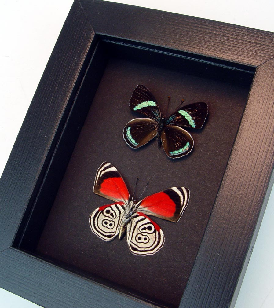 Framed 88 Butterflies Diaethria clymena Pair Moonlight Display ooak