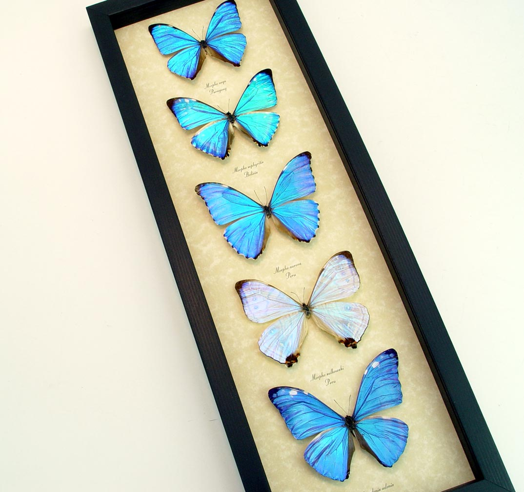 Framed Butterflies Diamond Morpho Butterfly Collection ooak
