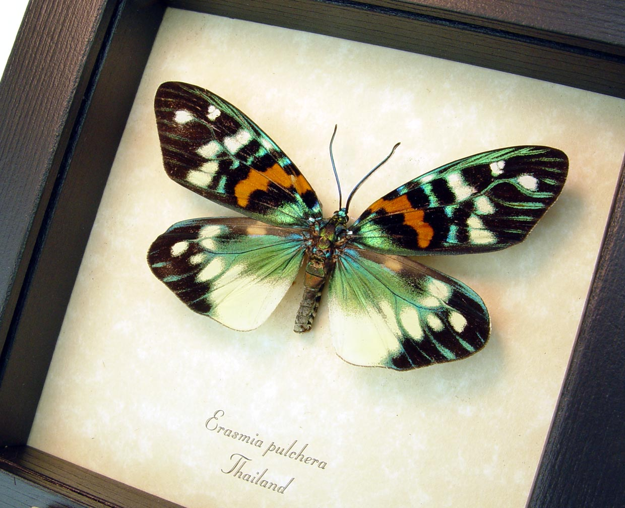 Erasmia pulchera Day Flying Moth ooak