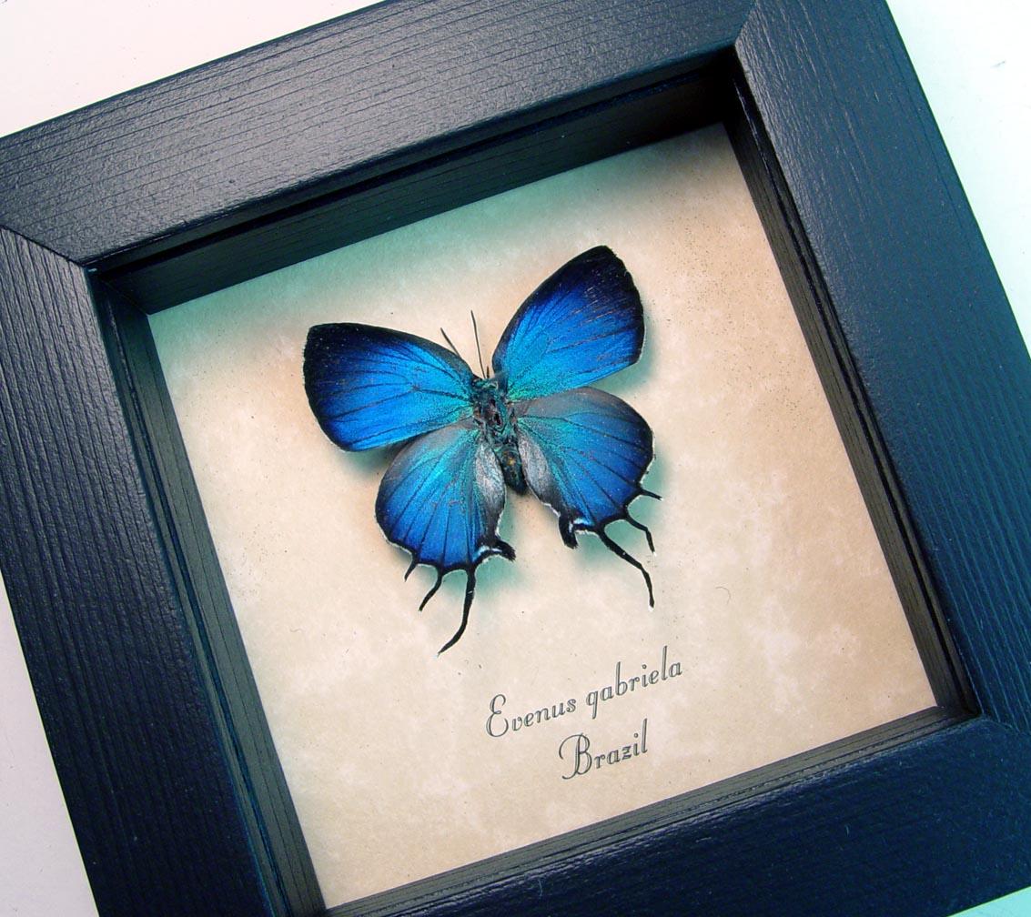 Evenus gabriela Blue Hairstreak Butterfly ooak