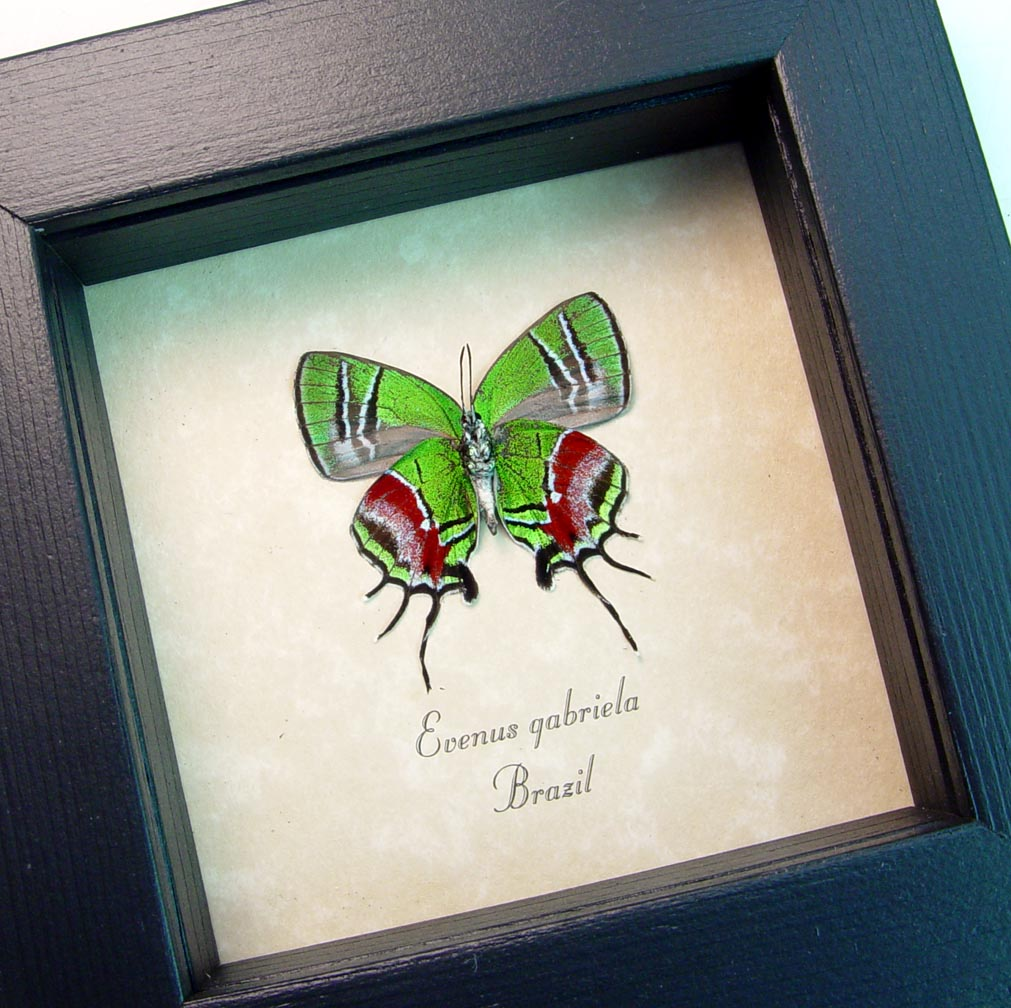 New Butterfly-Displays real framed new addition butterfly-displays framed butterflies by butterfly-designs