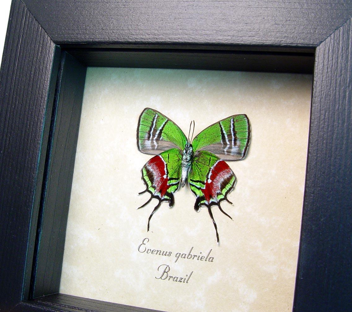 Evenus gabriela Hairstreak Butterfly ooak