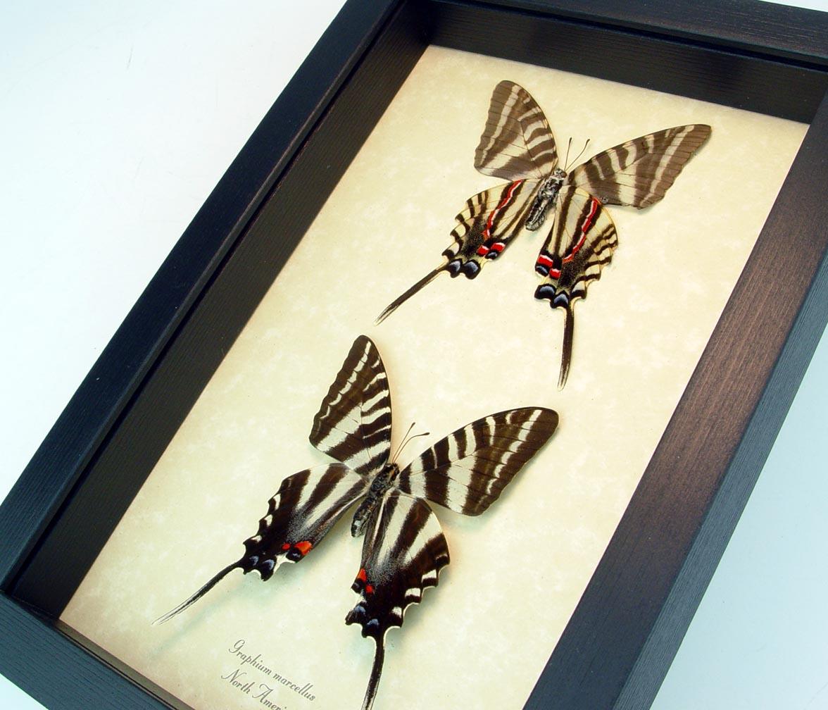 Graphium Marcellus Large Set Zebra Swallowtail Butterflies ooak