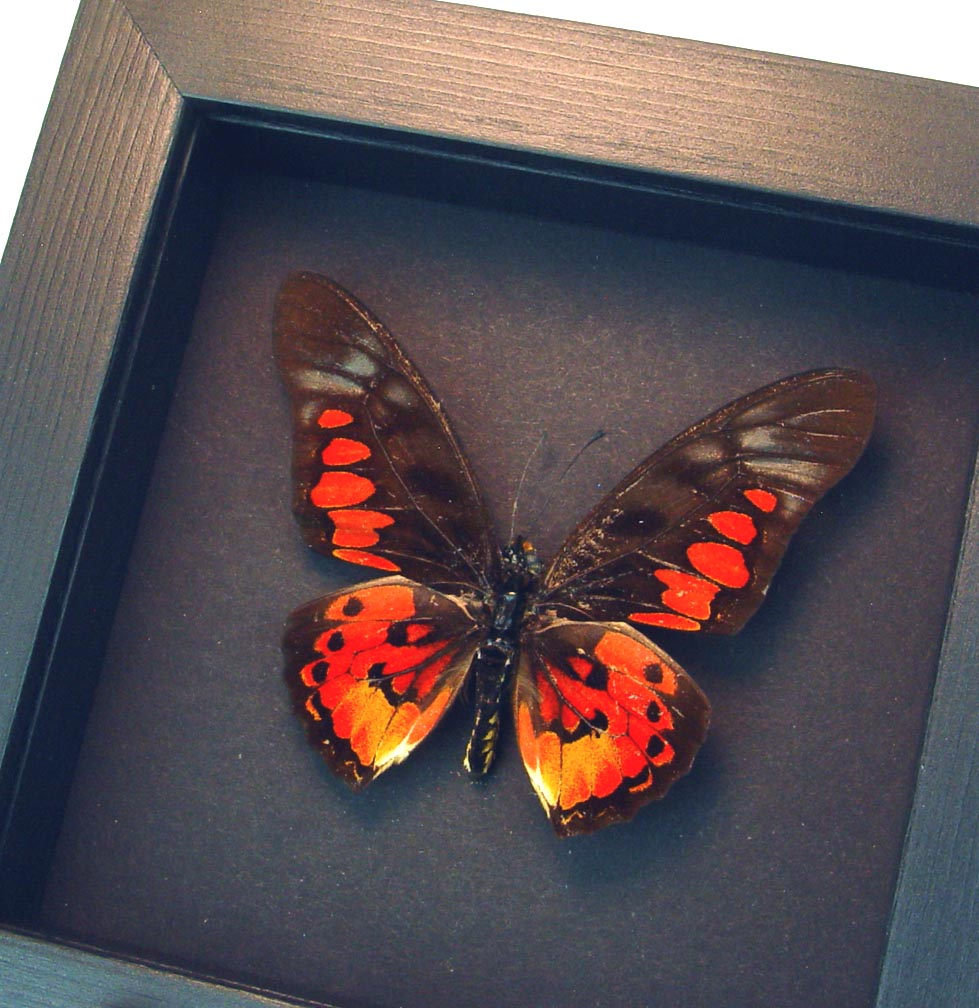 Graphium rydleyanus Red African Butterfly Moonlight Display ooak