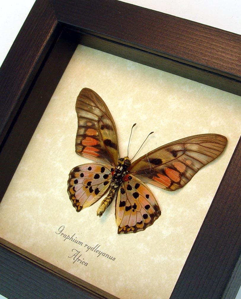 Graphium rydleyanus verso Red African Butterfly ooak