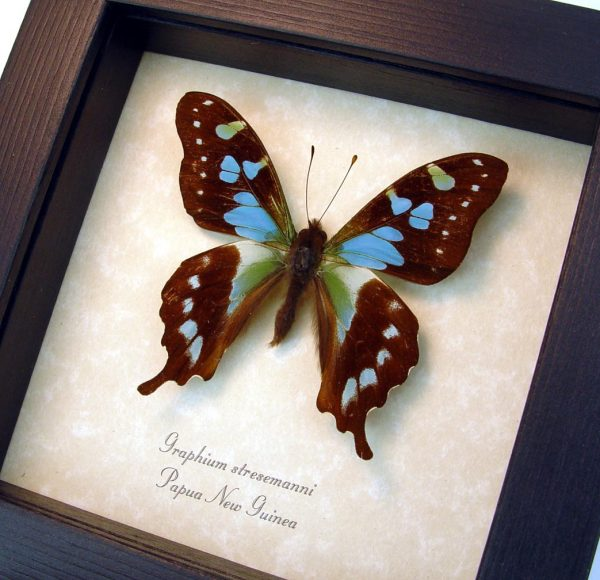 Graphium stresemanni Rare Swallowtail Butterfly