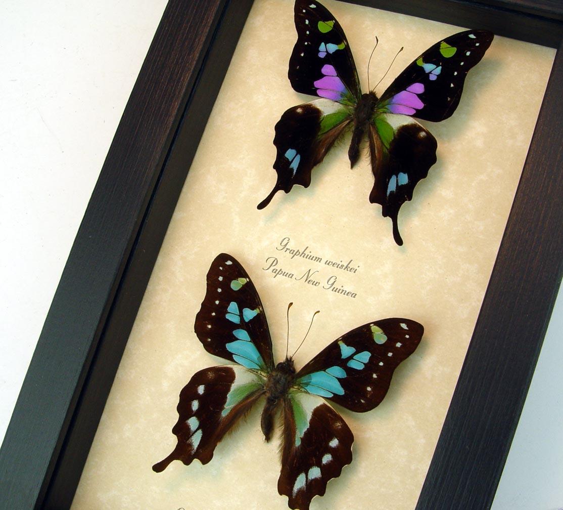 Graphium stresemanni  Graphium Weiskei Butterfly Set
