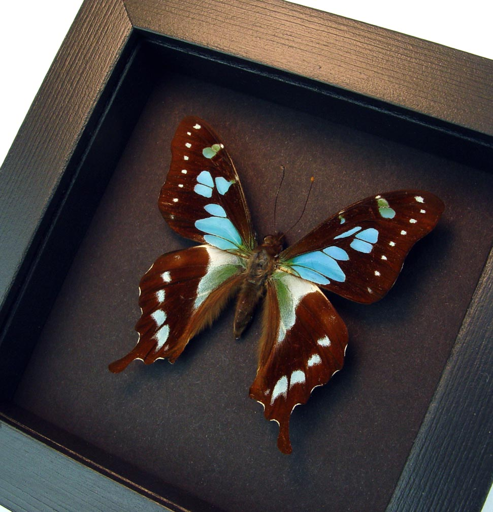 Graphium stresemanni Rare Swallowtail Butterfly Moonlight Display ooak