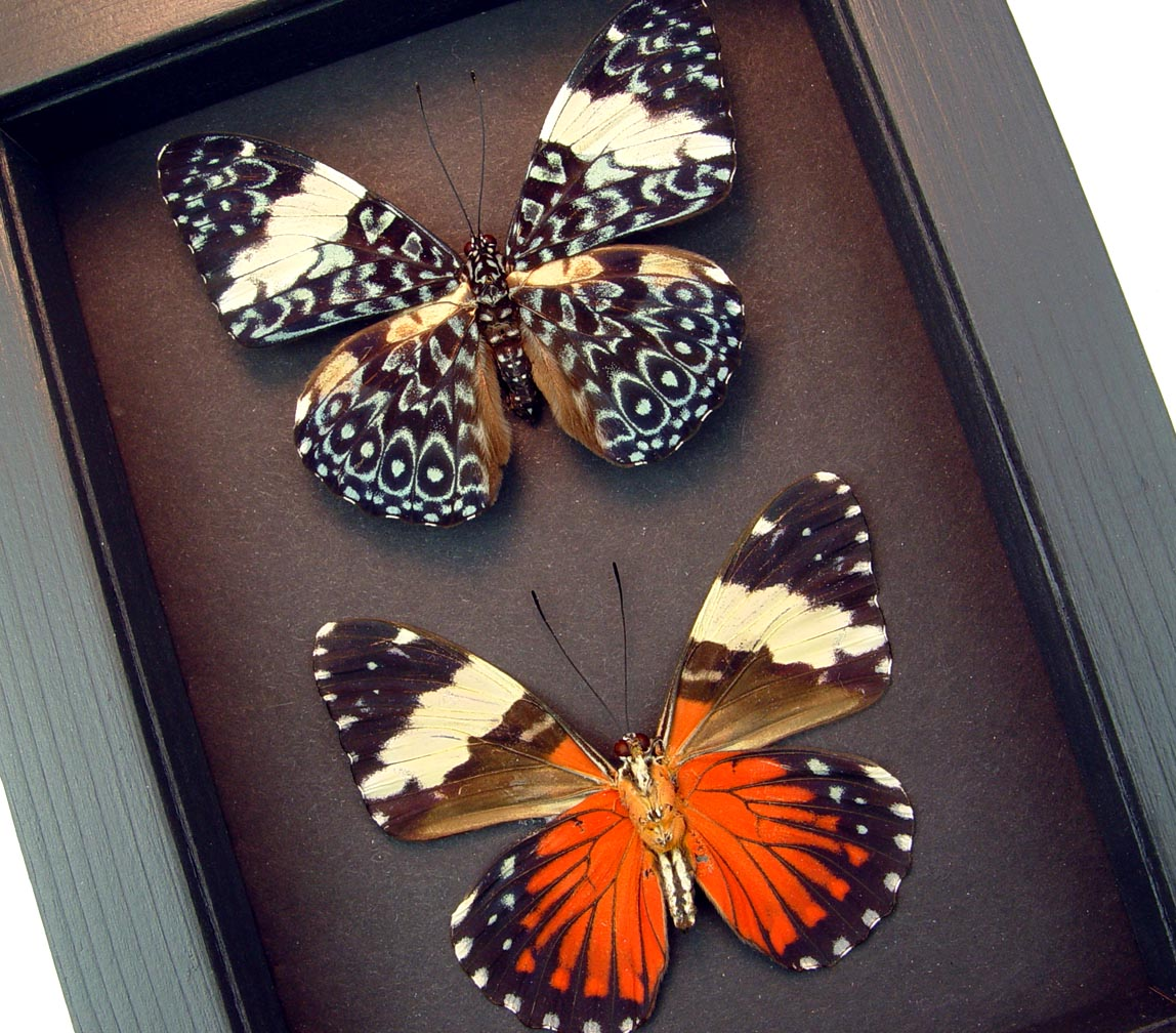 Hamadryas amphinome pair Red Cracker butterflies Moonlight Display ooak