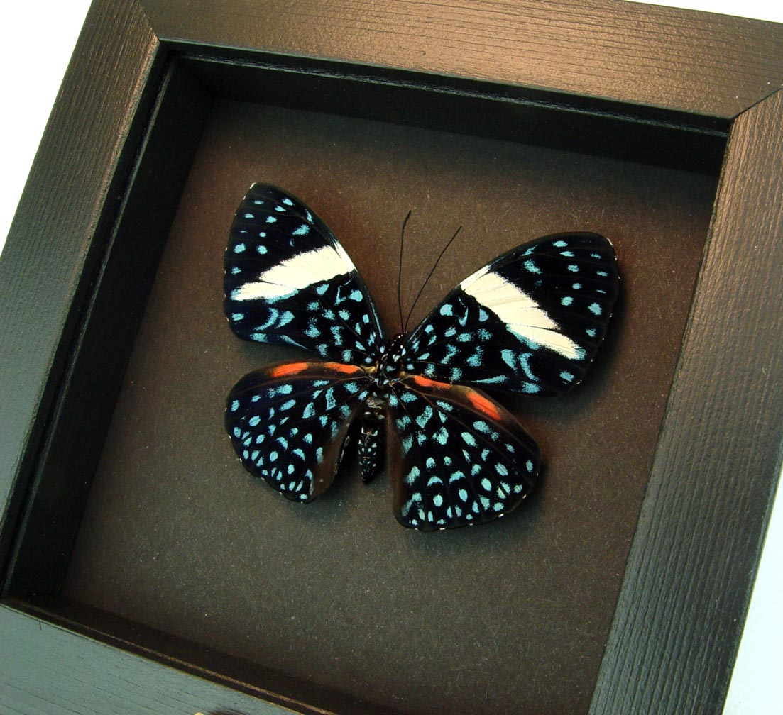 Hamadryas laodamia Female Starry Night Butterfly moonlight display ooak