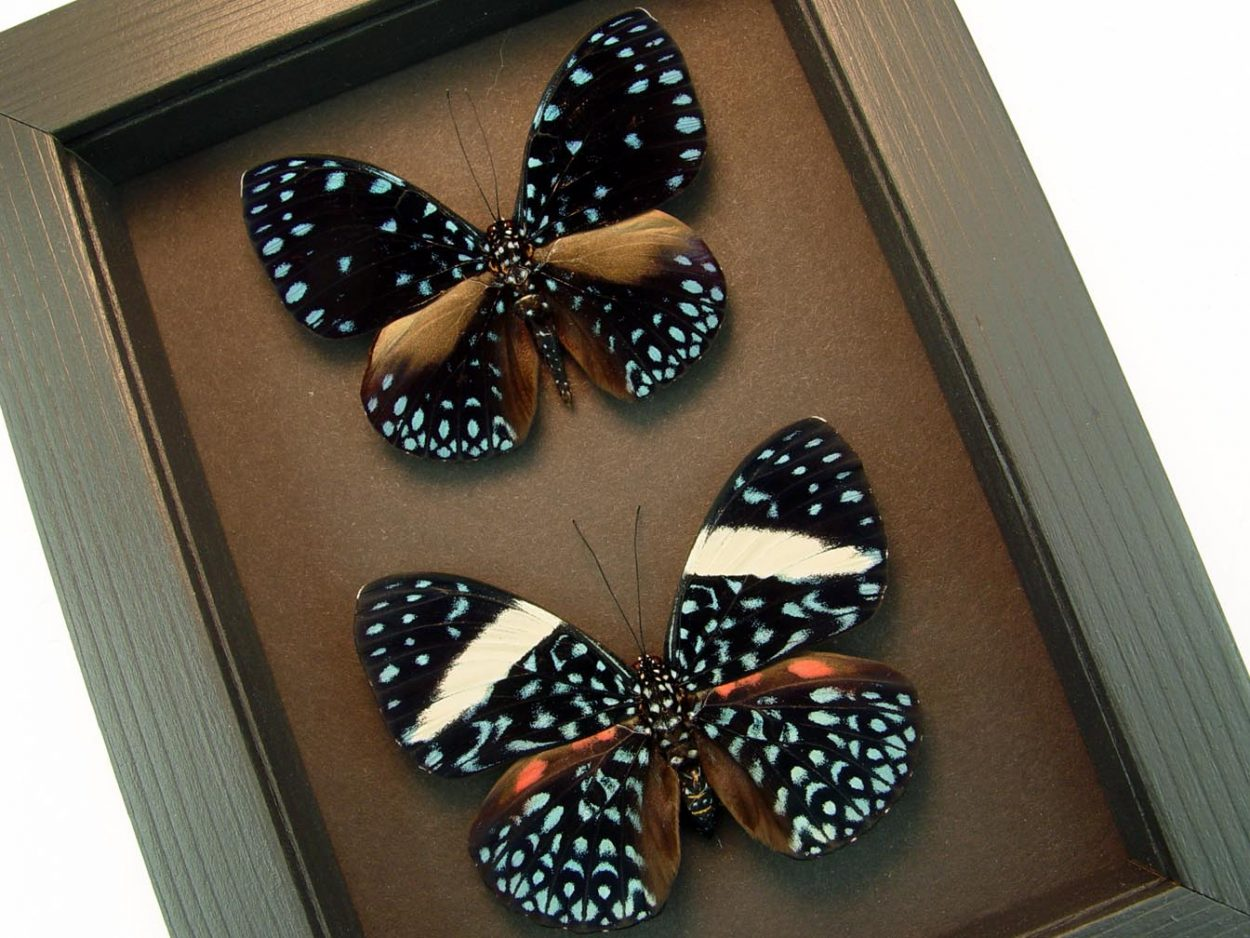 Hamadryas laodamia Pair Starry Night Butterflies moonlight display