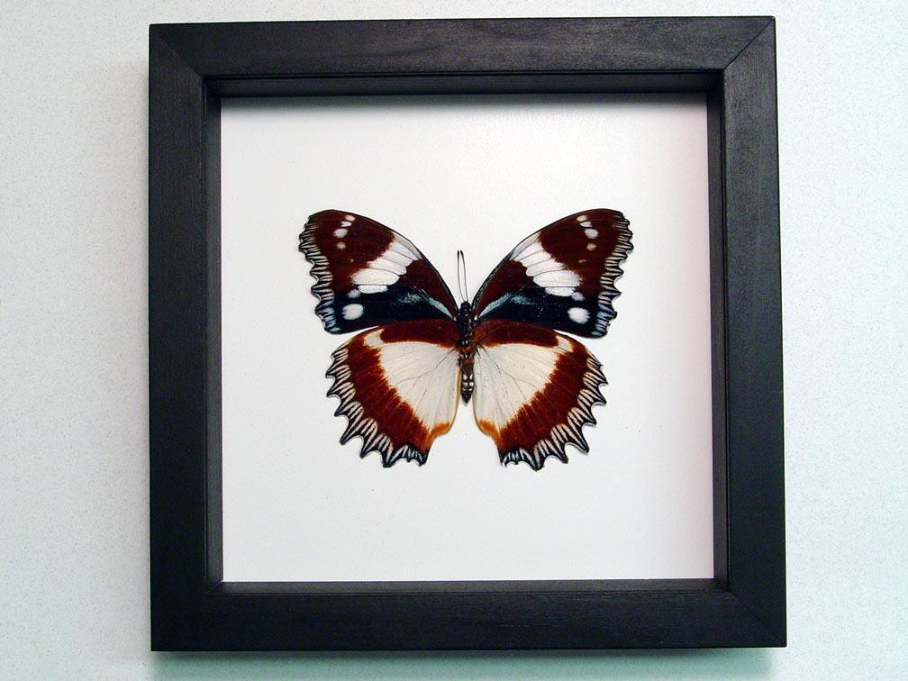 Hypolimnas dexithea Verso Madagascar Diadem Butterfly Classic Black Display